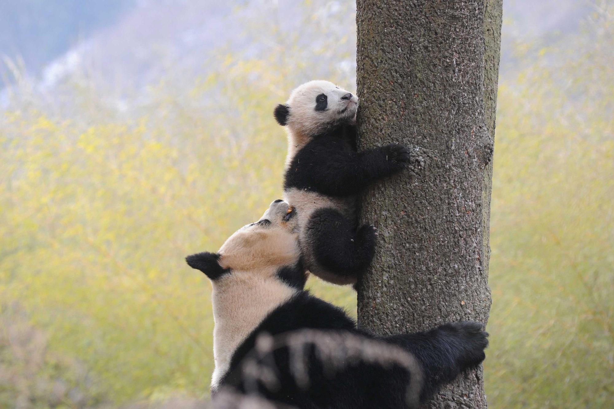 Panda géant et son petit à Hetaoping