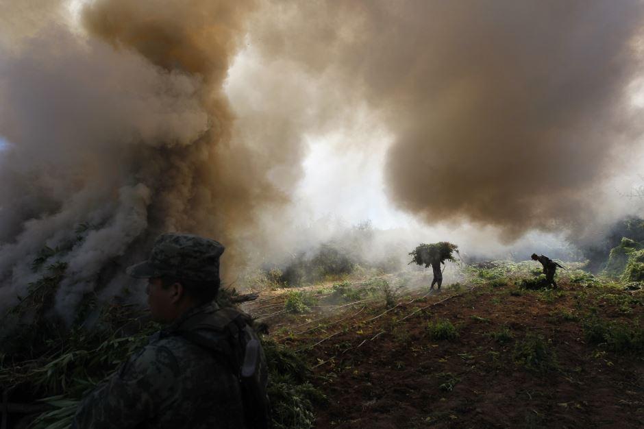 Destruction d'une plantation de cannabis
