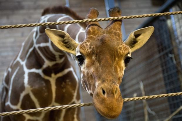 Marius-girafe