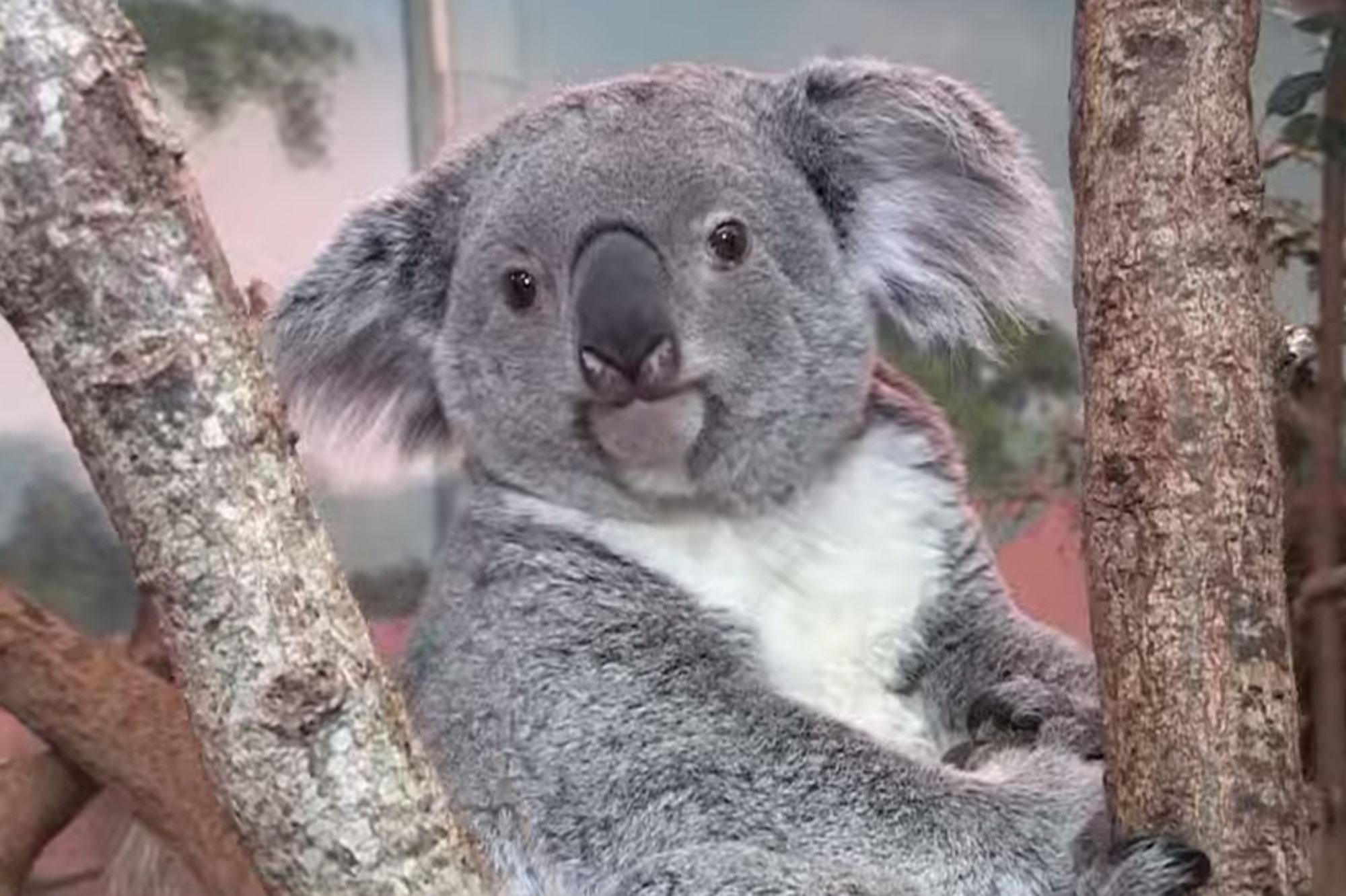 Koalas l phants tapirs avec les soigneurs dans les for Chambre zoo de beauval
