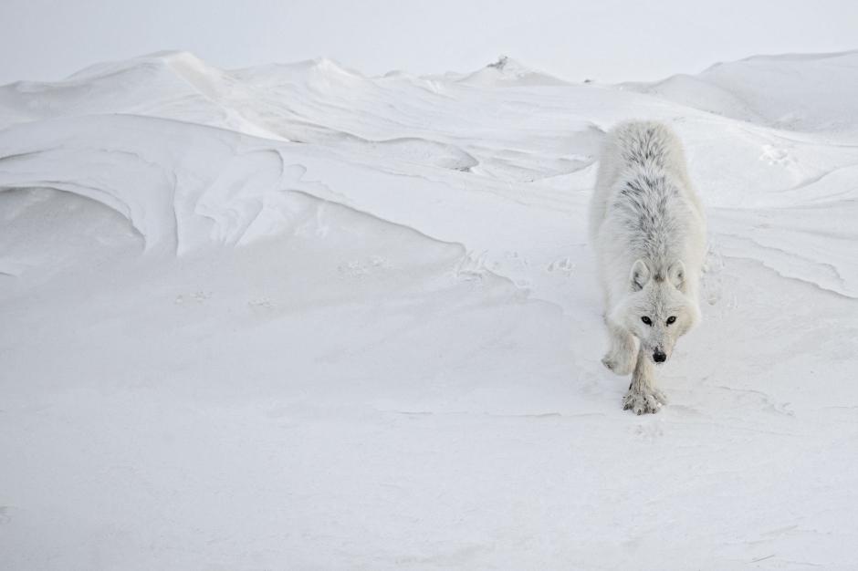 Le loup blanc, cet inconnu