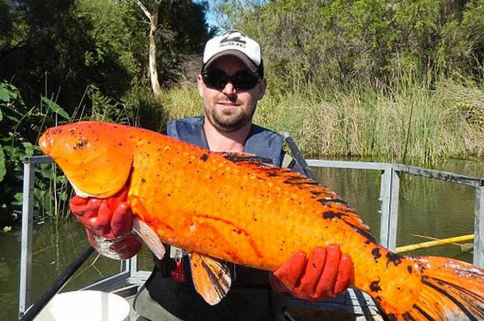 Les ravages des poissons rouges mutants