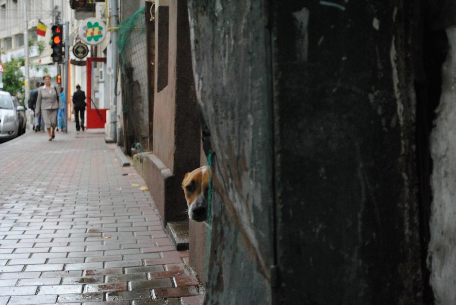 Haro sur les chiens errants de Roumanie