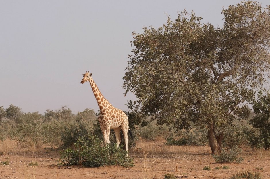 niger les derni res girafes de l afrique de l ouest. Black Bedroom Furniture Sets. Home Design Ideas