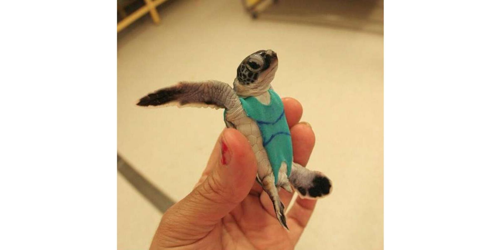 En australie pour la science les tortues en maillot de for Article pour le bain