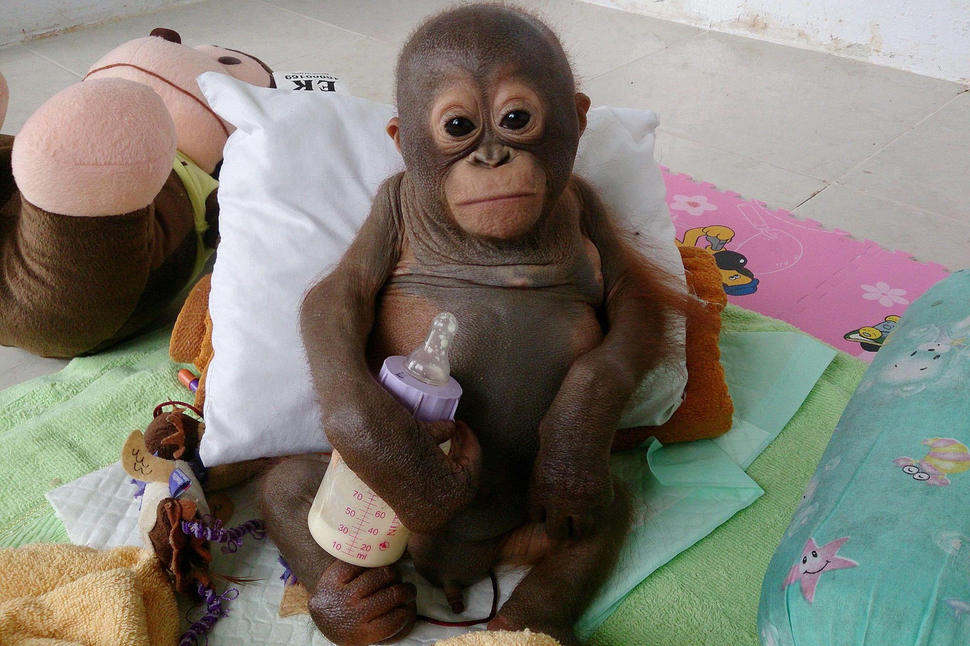 Budi  le petit orang-outan sauv  233  d une mort certaine