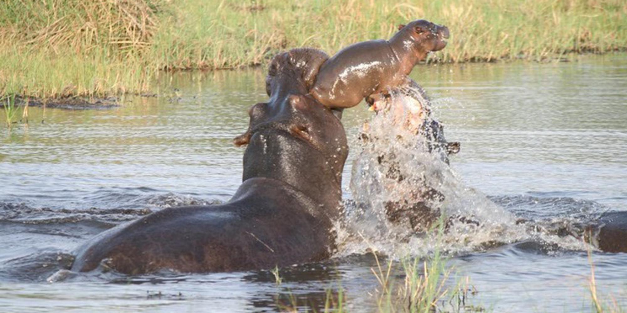 http://cdn-parismatch.ladmedia.fr/var/news/storage/images/paris-match/animal-story/photos/votez-pour-la-photo-d-animaux-de-l-annee-678882/une-mere-hippopotame-sauve-son-bebe-des-defenses-de-deux-de-ses-congeneres-dans-le-parc-seba-au-botswana/6816070-1-fre-FR/Une-mere-hippopotame-sauve-son-bebe-des-defenses-de-deux-de-ses-congeneres-dans-le-parc-Seba-au-Botswana.jpg
