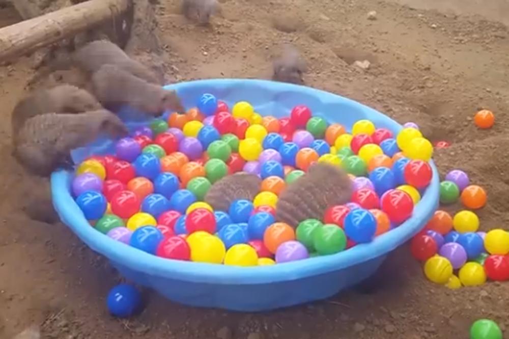 Les mangoustes s 39 amusent dans une piscine de boules for Boule lumineuse piscine