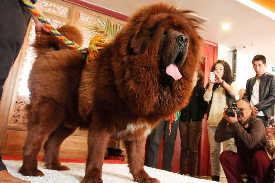 le chien le plus cher du monde vendu 1 4 million d euros en chine. Black Bedroom Furniture Sets. Home Design Ideas
